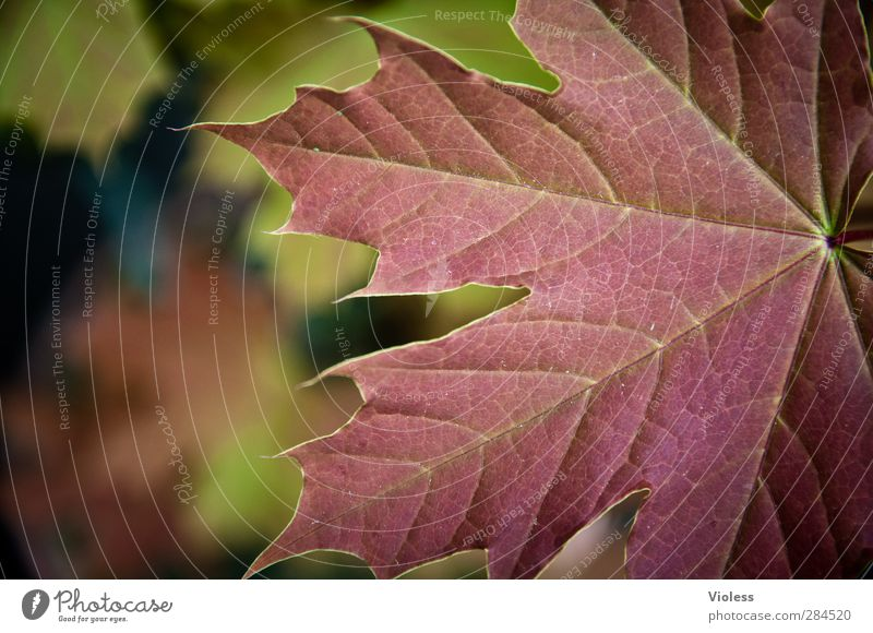 canadian autumn Nature Plant Leaf Forest Natural Moody Autumn leaves Autumnal Maple leaf Maple tree Structures and shapes Colour photo Exterior shot