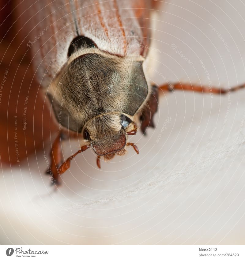 to stroke... Nature Animal Spring Summer Autumn Beetle Animal face 1 Brown Hair Insect insect eye May bug Colour photo Exterior shot Close-up Detail