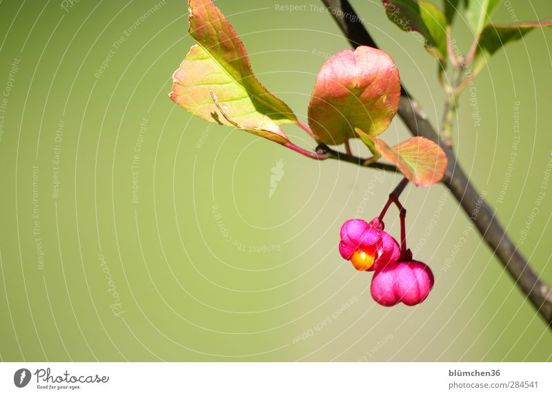 Nature Green Plant Leaf Autumn Small Blossom Garden Pink Orange Fruit Wild Growth Fresh Illuminate Bushes