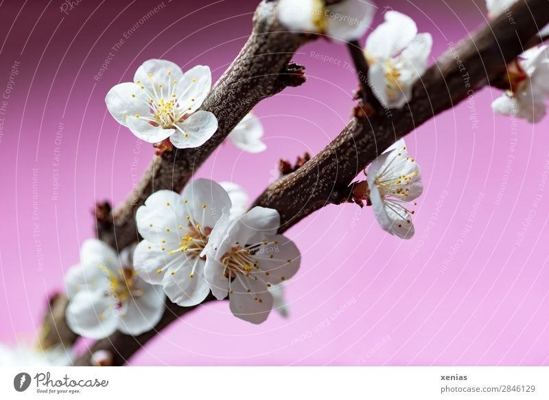 Peach blossoms on twig Plant Spring Tree Blossom rosaceae Fruit trees Twig Branch Blossoming Brown Pink White Romance Wellness Delicate Spring fever