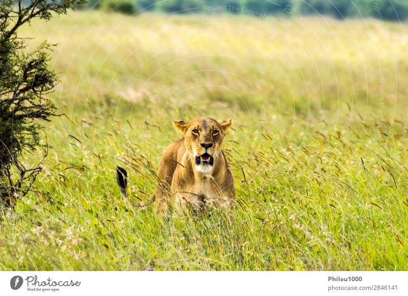 Lioness sitting in the savannah Face Vacation & Travel Woman Adults Nature Animal Park Cat Natural Wild Yellow Dangerous Nairobi Africa african background