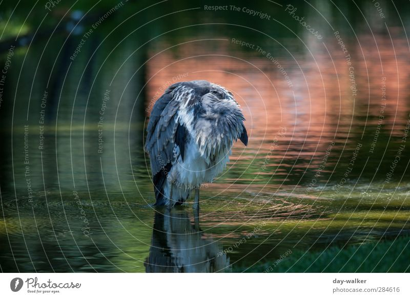 hang out Water Summer Beautiful weather Waves Animal Wild animal Bird Zoo 1 Sleep Green Red Grey heron Feather Colour photo Multicoloured Exterior shot Deserted