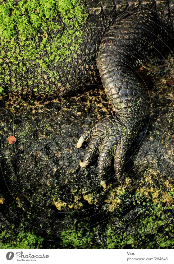 manicure Moss Animal Wild animal Scales Claw Alligator Reptiles Legs Crocodile 1 Stone Brown Green Colour photo Multicoloured Exterior shot Detail Deserted Day