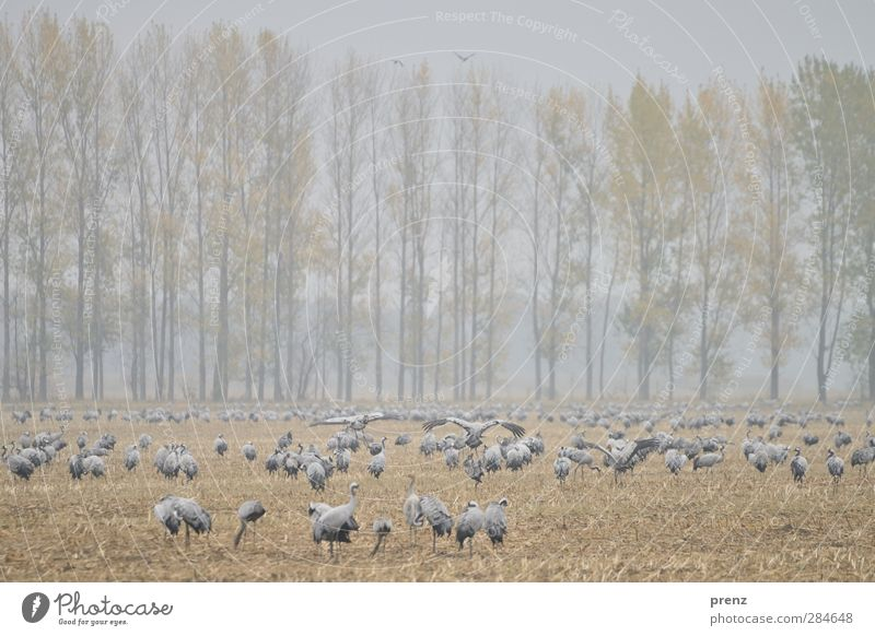 crane field Environment Nature Landscape Animal Fog Field Wild animal Bird Group of animals Blue Brown Gray Crane Stride bird To feed Many Poplar Judder