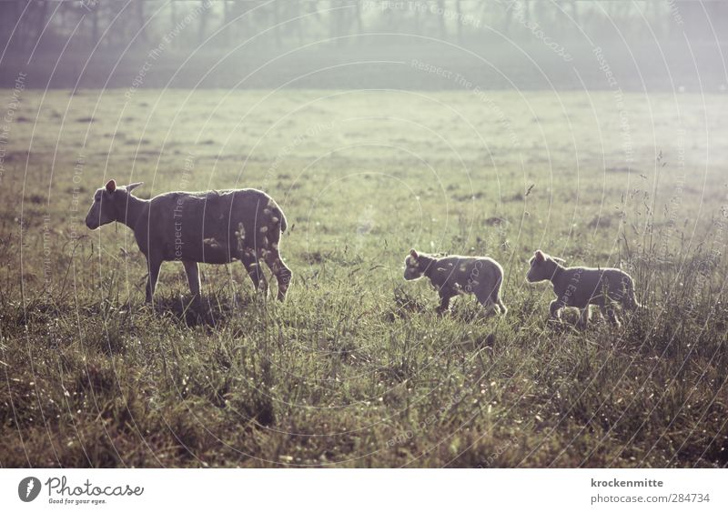 Nature Green Landscape Animal Baby animal Grass Happy Going Together Idyll Group of animals Protection Pelt Pasture Attachment Row