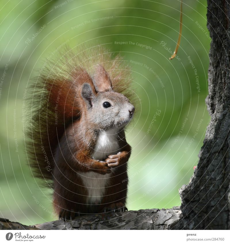 hypnohörnchen Environment Nature Animal Tree Wild animal 1 Brown Green Squirrel Rodent Tree bark Cute Sit Stand Colour photo Exterior shot Deserted