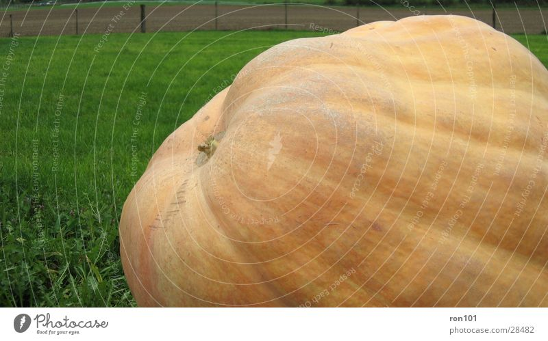 PUMPKIN Hallowe'en Meadow Green Pumpkin orange 380 kg