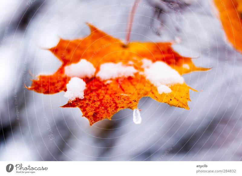Last autumn greeting / Last autumn greeting Plant Autumn Ice Frost Snow Leaf Park Forest Freeze Brown Gray Orange Red Cool (slang) frozen Winter cold Maple Leaf