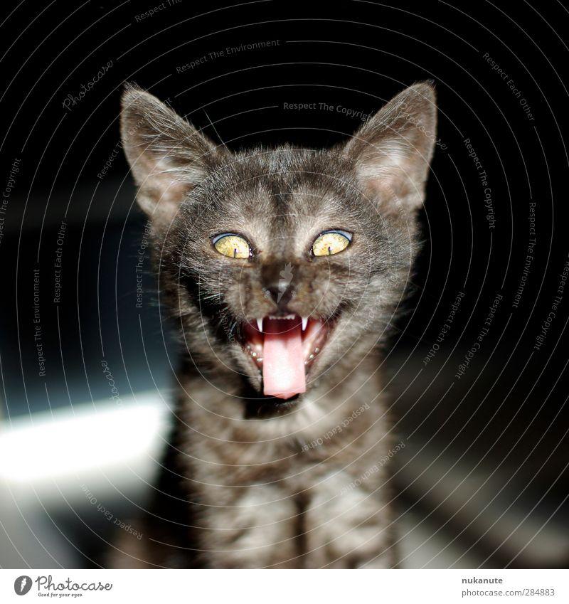 cheeky cat Hallowe'en Pet Cat Animal face Kitten Cat's tongue 1 Baby animal Laughter Cool (slang) Brash Creepy Brown Gray Black Whimsical Colour photo