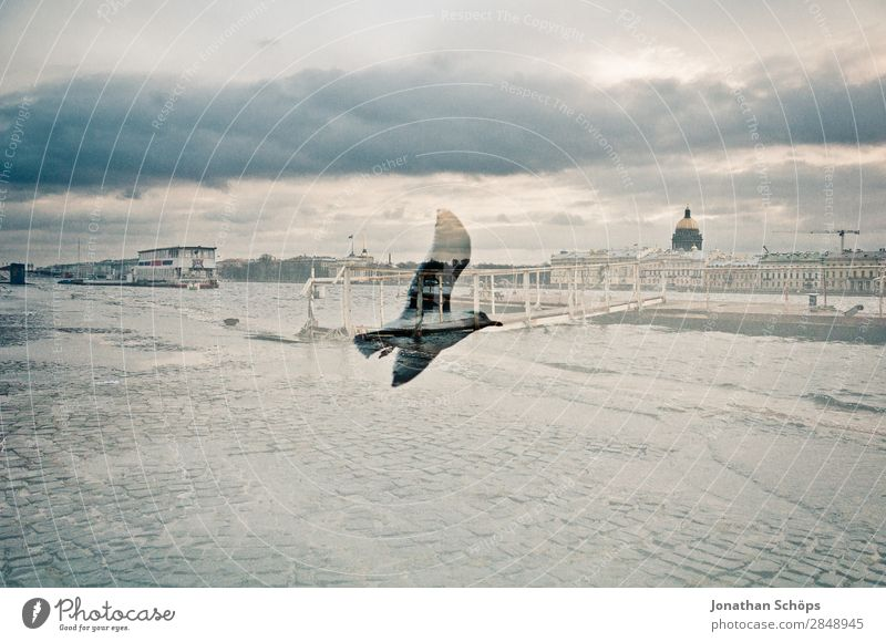 Double exposure seagull and St. Petersburg Town Capital city Downtown Populated Animal Bird Wing 1 Esthetic Seagull Gull birds St. Petersburgh Russia Cold