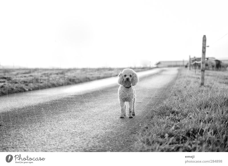 on the road Environment Nature Landscape Sky Meadow Field Animal Pet Dog 1 Natural Curiosity Street Lanes & trails Maltese Black & white photo Exterior shot