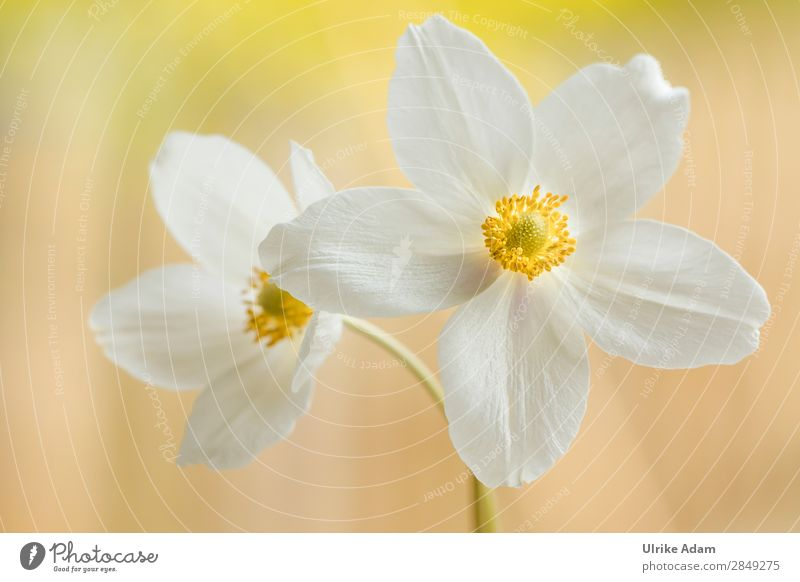 white anemones Elegant Wellness Life Harmonious Well-being Contentment Relaxation Calm Meditation Cure Spa Decoration Wallpaper Feasts & Celebrations