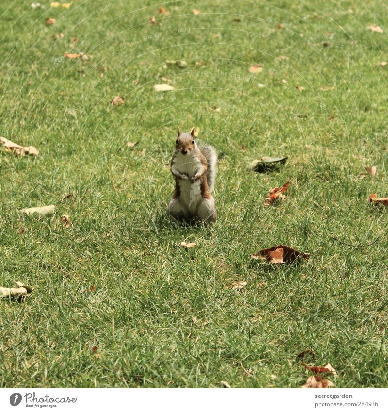 Do you know where my [700] nuts are hidden??? Environment Nature Autumn Beautiful weather Garden Park Wild animal Squirrel 1 Animal Brash Cute Brown Green