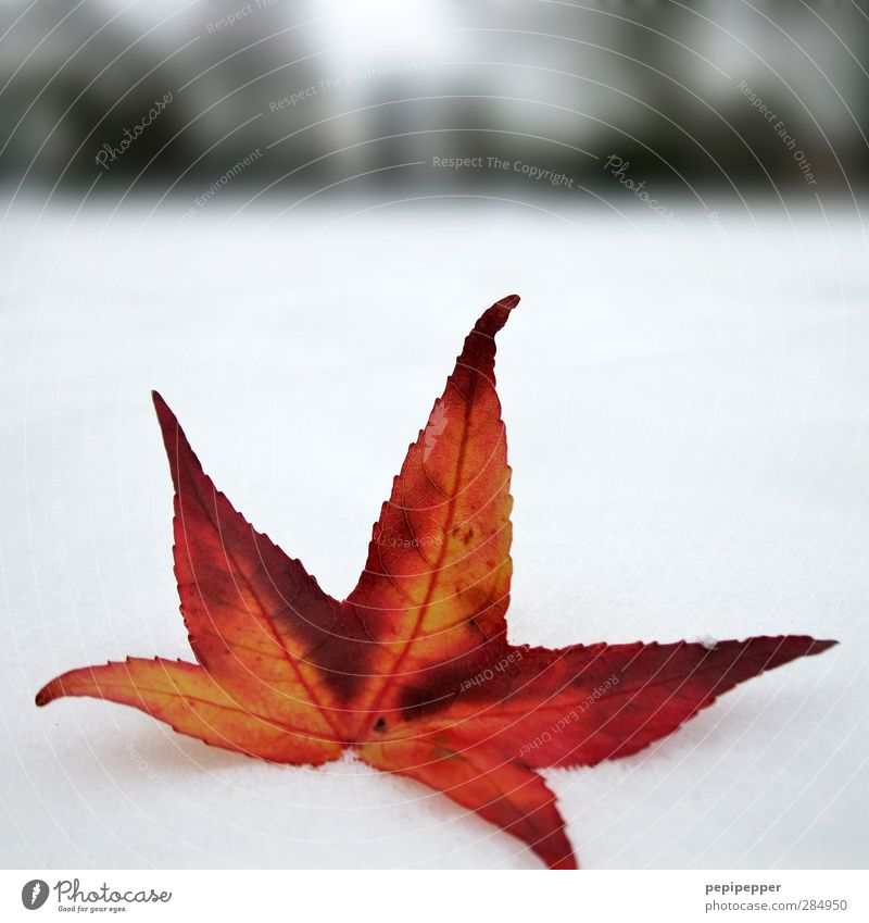 White Plant Red Leaf Winter Snow Garden Horizon Ice Park Earth Illuminate Frost