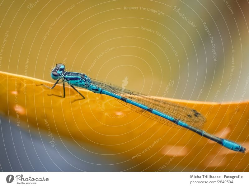 Blue dragonfly on one leaf Environment Nature Animal Sunlight Beautiful weather Leaf Wild animal Animal face Wing Dragonfly Legs Eyes Insect 1 Glittering Crawl