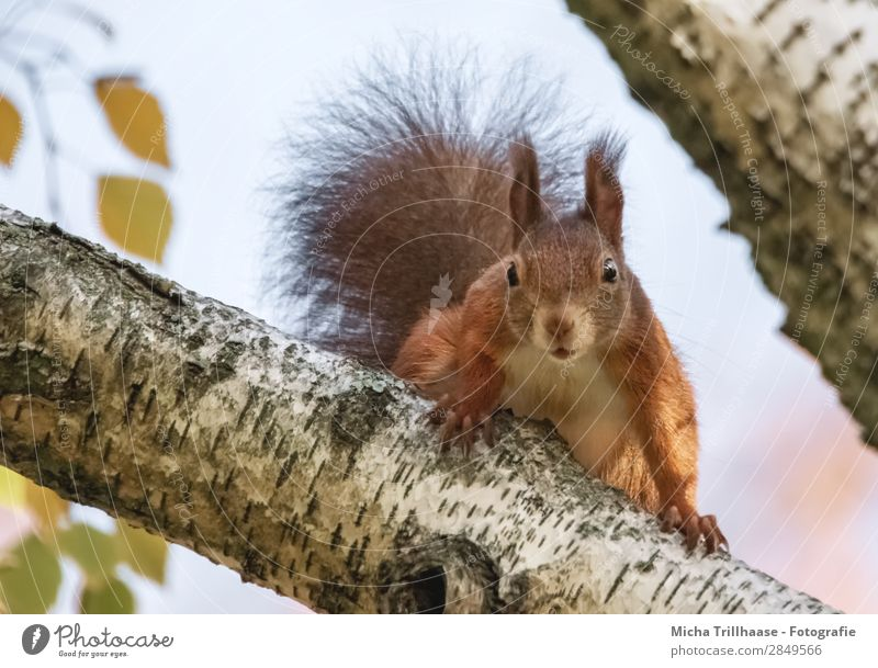 Curious squirrel in a tree Nature Animal Sky Sunlight Beautiful weather Tree Wild animal Animal face Pelt Claw Squirrel Rodent Head Eyes Ear Tails 1 Observe