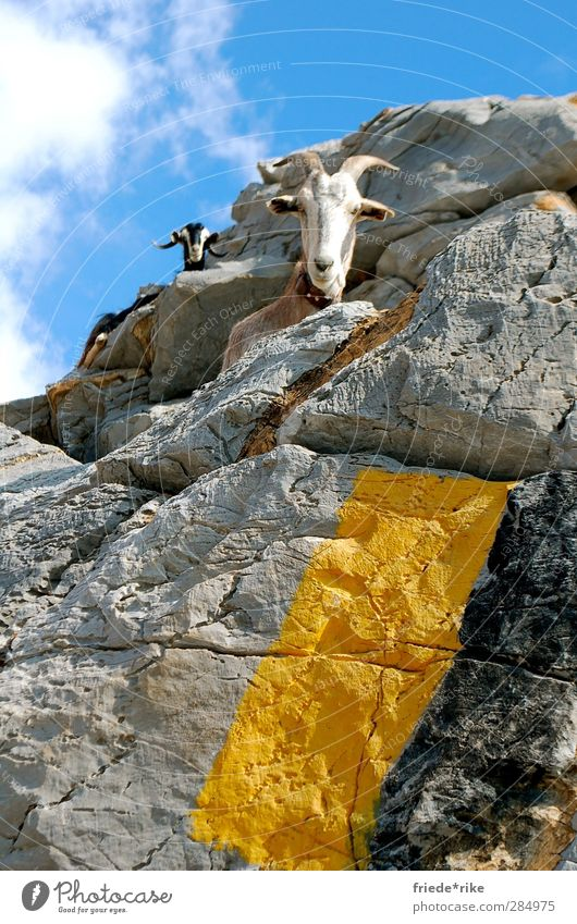 Look who's looking. Nature Landscape Sky Clouds Hill Mountain Peak Animal Farm animal Goats 2 Sit Hiking Blue Yellow Gray Black White Crete Chania Colour photo