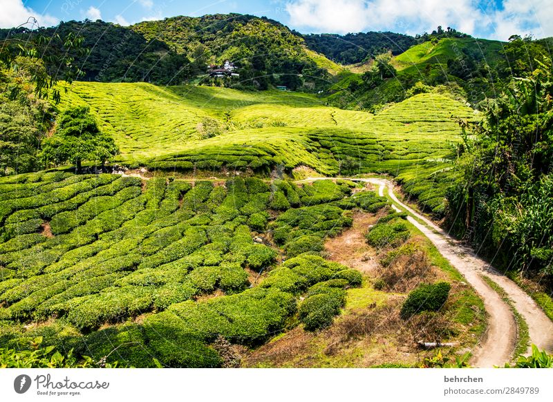 all paths lead...to the tea;) Vacation & Travel Tourism Trip Adventure Far-off places Freedom Nature Landscape Plant Tree Bushes Leaf Agricultural crop