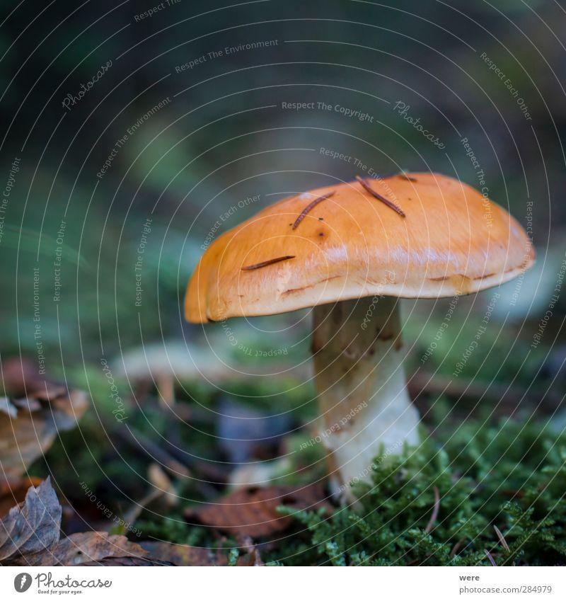 Nature Leaf Forest Autumn Eating Healthy Food Autumn leaves Mushroom