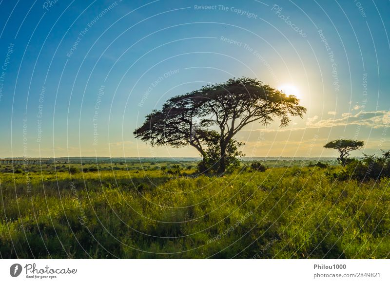 View of the sunset on the savannah Vacation & Travel Safari Mountain Nature Landscape Tree Grass Park Large Wild Nairobi Africa african background head Kenya