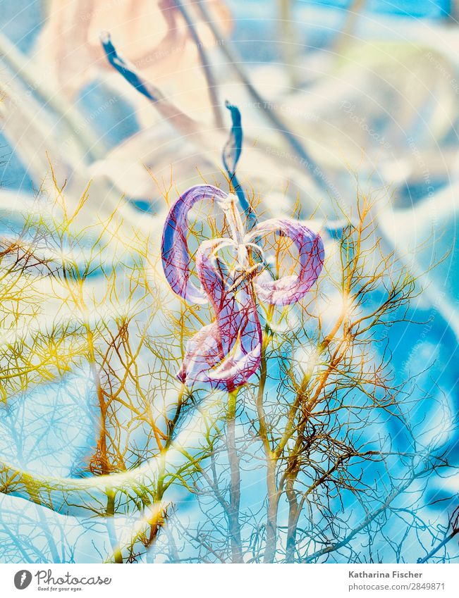 Tulip withers double exposure Art Nature Plant Spring Summer Autumn Winter Flower Leaf Blossom Bouquet Illuminate Faded Blue Yellow Gold Green Violet Orange