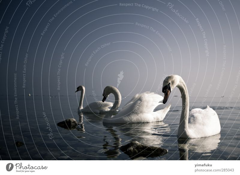3 Swans Elegant Animal Lake Switzerland Europe Wild animal Group of animals Going Cool (slang) Together Beautiful Blue Violet Serene Calm Curiosity Colour photo