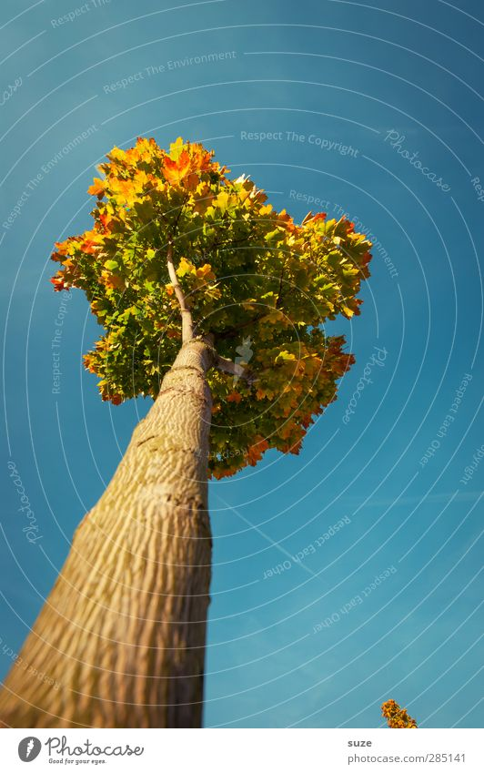 autumn coronation Environment Nature Plant Sky Cloudless sky Autumn Climate Weather Beautiful weather Tree Esthetic Large Tall Blue Autumnal Early fall