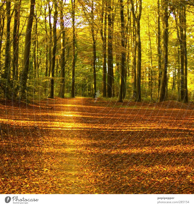 stay on track Hiking Nature Landscape Plant Earth Autumn Beautiful weather Tree Leaf Forest Lanes & trails Diet Blossoming Faded To dry up Dry Brown Gold Green