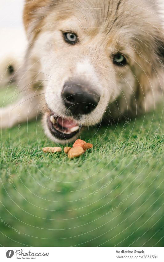 Cute dog with blue eyes Dog big Lawn Pet Animal Grass Domestic Mammal Green Friendship Nature Delightful Action Hound Meadow Large Breed Natural Beautiful