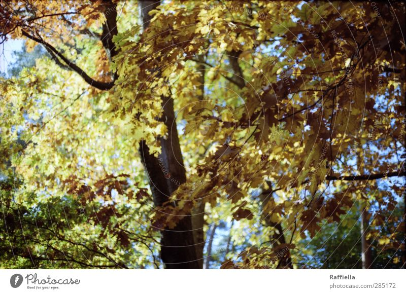 Sky Nature Plant Tree Leaf Yellow Environment Autumn Brown Gold Illuminate Elements To fall Tree trunk Autumn leaves Autumnal