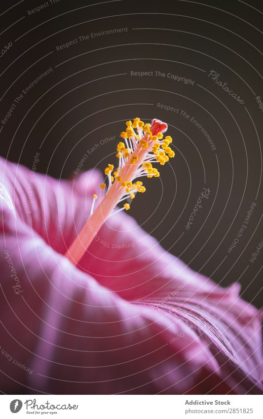 Close up pink flower Hibiscus Flower Pink Stamen Macro (Extreme close-up) Light Nature Beautiful Background picture Tropical Plant Garden Blossom Black Pollen