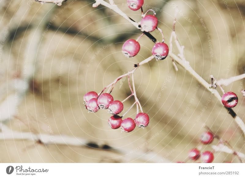 yellow berries Fruit Nutrition Organic produce Nature Plant Winter Beautiful weather Bushes Wild plant Rawanberry Rowan tree Thin Fresh Healthy Bright Cold