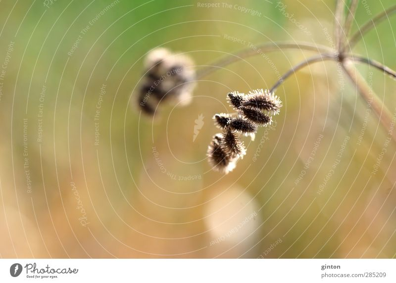Dried umbel Environment Nature Landscape Plant Sunlight Autumn Beautiful weather Grass Bushes Wild plant Meadow Glittering Hang To dry up Exotic Thorny Dry