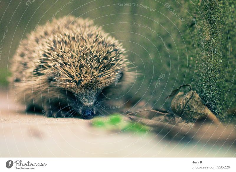 Hurry now Animal Wild animal Hedgehog 1 Cute Diligent Defensive Spine Subdued colour Exterior shot Deserted Copy Space bottom Day Shallow depth of field