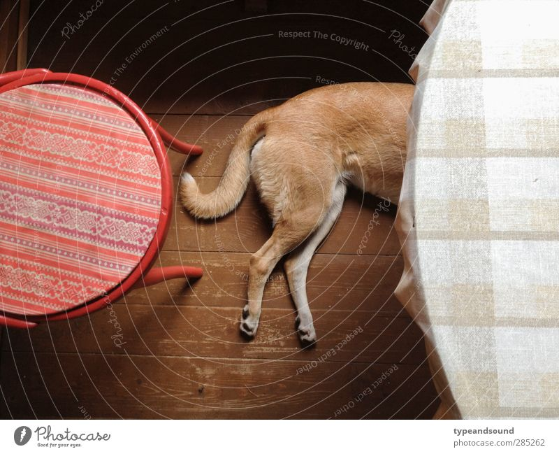 Russian kitchen dog Animal Pet Dog 1 Wood Circle Think Relaxation To enjoy Lie Sleep Dream Simple Natural Brown Red Emotions Safety (feeling of)