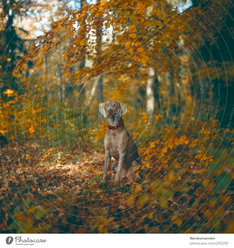 Fine girl Nature Landscape Autumn Beautiful weather Forest Animal Pet Dog 1 Observe Fitness Hunting Communicate Esthetic Muscular Multicoloured Loyal Friendship
