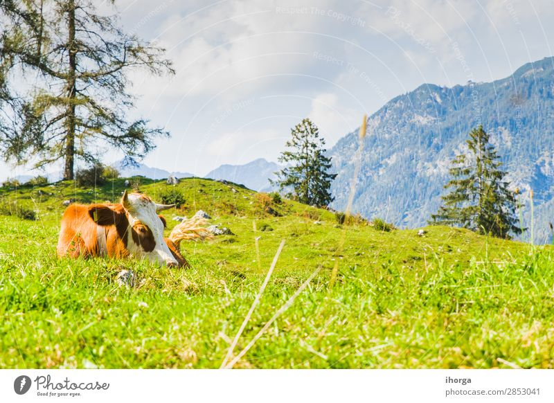 cows in the green meadows of the alps Beautiful Summer Mountain Nature Landscape Animal Sky Tree Grass Meadow Hill Alps Farm animal Cow 1 To feed Blue Brown