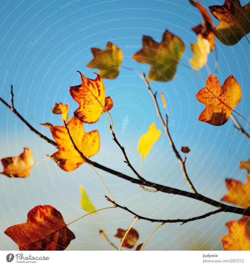Nature Blue Colour Red Leaf Yellow Autumn Death Orange Branch Transience Change Seasons Decline Square Maple leaf