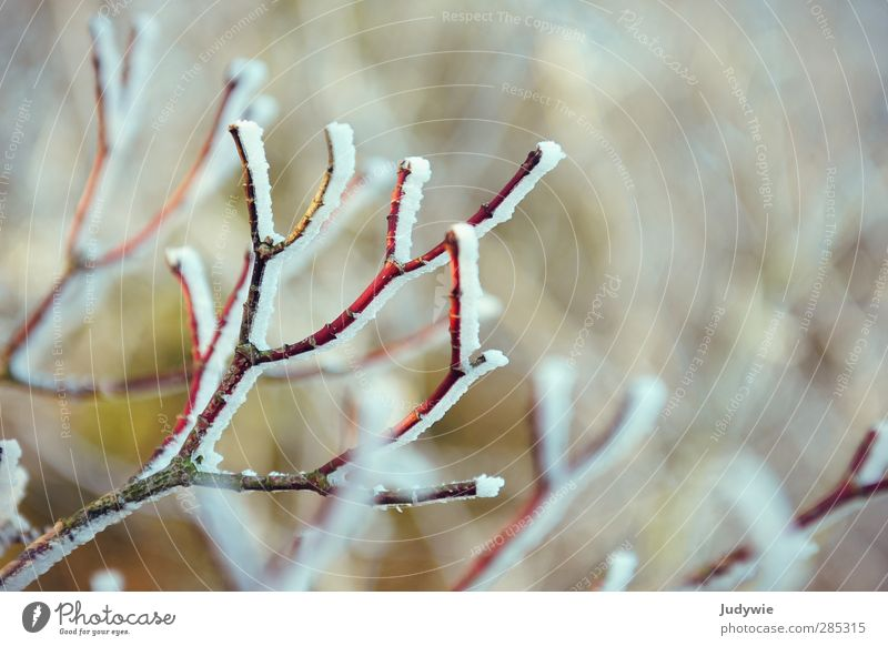winter greeting Winter Cold Snow Snowfall Frost Mature Red Branch Plant Tree Salutation Blur Twig White Nature Bleak Growth Seasons