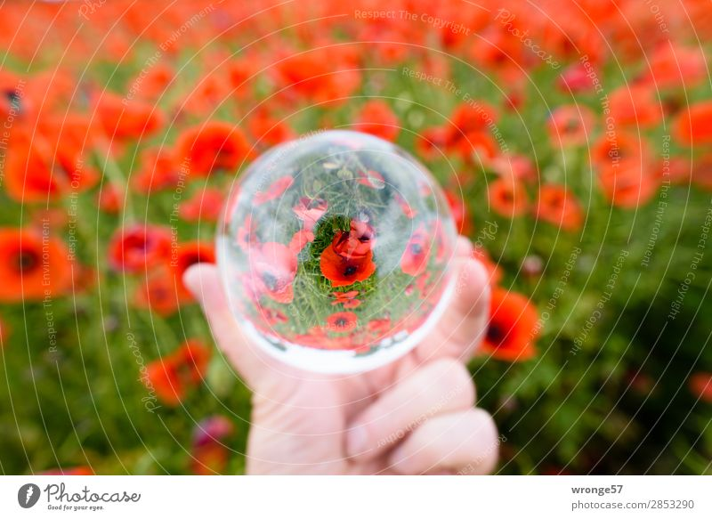 Poppy field in the glass ball Nature Plant Summer Blossom Agricultural crop Field Multicoloured Green Red Poppy blossom Glass ball Landscape format Colour photo