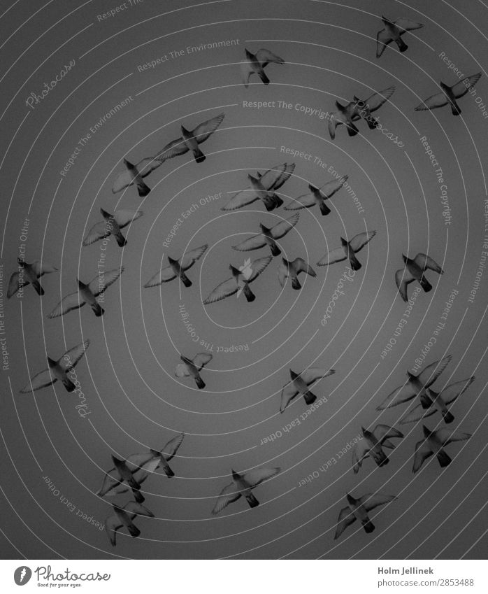 formation Group of animals Flying Air Bird Pigeon Formation Black & white photo Exterior shot Deserted Day