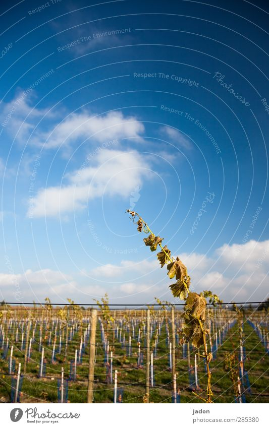 Sky Nature Plant Heaven Blue Leaf Clouds Autumn Line Growth Elegant Power Beautiful weather Agriculture Vine Wine