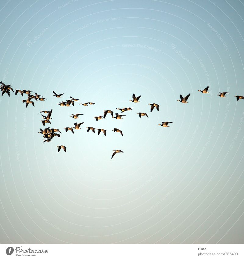 holiday start Animal Sky Beautiful weather Bird Goose White-cheeked Goose Group of animals Flock Flying Together Help Wanderlust Movement Society Communicate