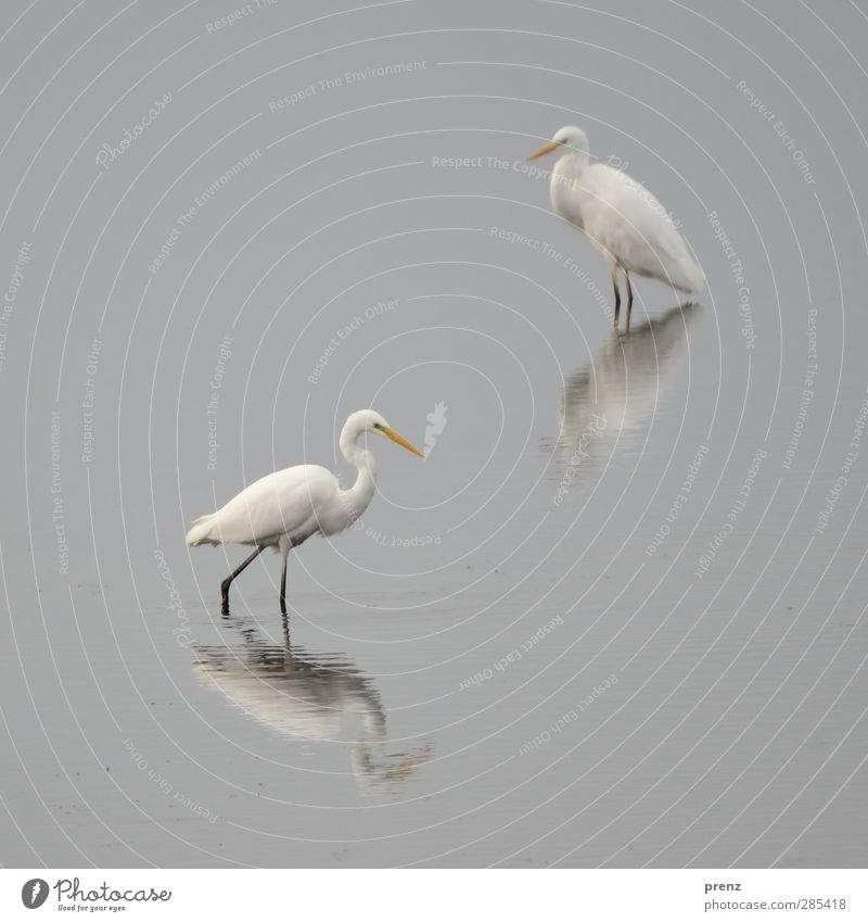 Still Water Environment Nature Animal Bird 2 Gray White Great egret Heron Reflection Calm Colour photo Exterior shot Deserted Copy Space left Copy Space top Day