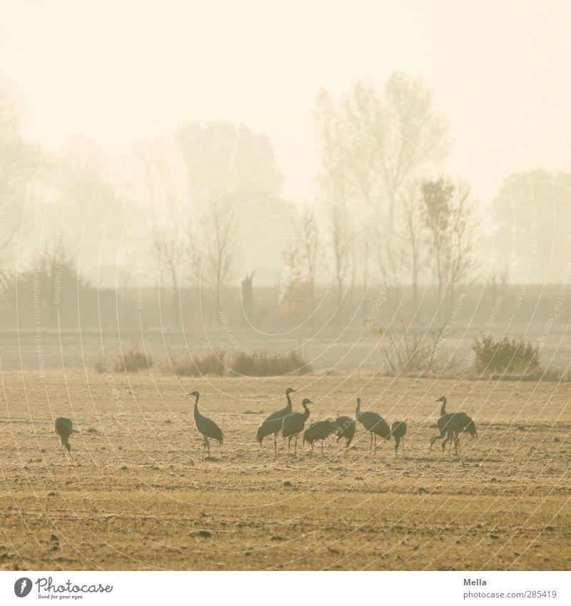 Good morning Environment Nature Landscape Animal Meadow Field Bird Crane Group of animals Stand Together Natural Idyll Multiple Morning Cold Colour photo
