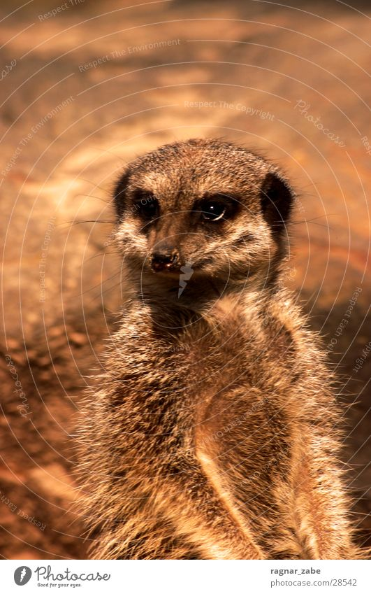 Animal Observe Curiosity Pelt Africa Zoo Farm animal Goof off Participation Kebab Meerkat Berlin zoo Draft animal Marsupial