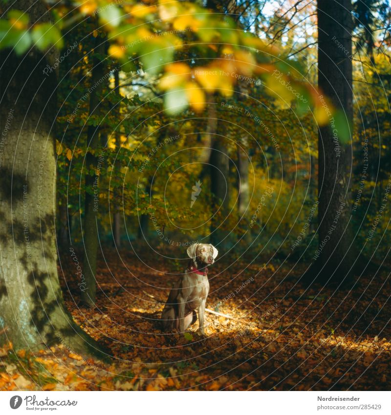 tia Nature Landscape Autumn Beautiful weather Tree Forest Animal Pet Dog 1 Observe Warmth Multicoloured Trust Protection Friendship Esthetic Moody Weimaraner