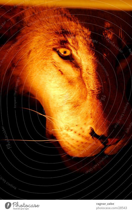 Dangerous Zoo Illuminate Lion Lioness