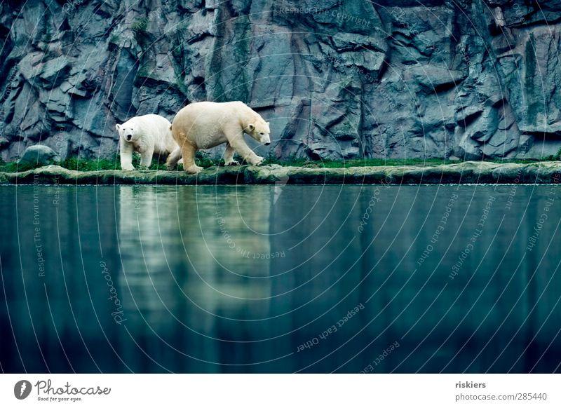 big friends Zoo Water Polar Bear 2 Animal Observe Walking Cool (slang) Elegant Blue Watchfulness Patient Calm Curiosity Hope Friendship Colour photo