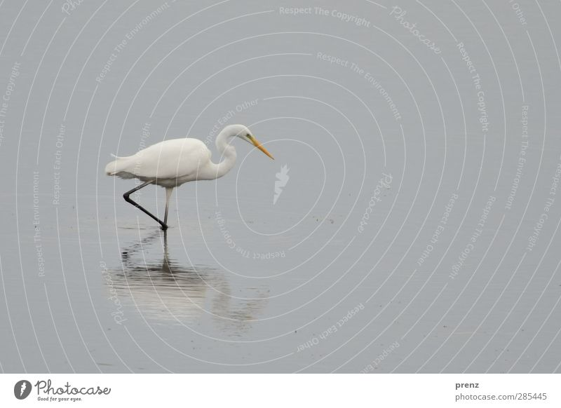 swell Environment Nature Animal Wild animal Bird 1 Gray White Heron Great egret Stride bird Reflection Colour photo Exterior shot Deserted Copy Space right